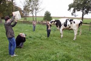 world's tallest cow