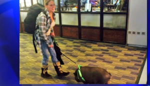 Pet Pig On Plane Kicked Off-Petsonboard.com