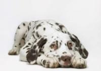 Keep Pets Safe From Canine Flu | PetsOnBoard.com
