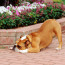 Are dogs just stretching when they bow forward and backward-PetsOnBoard.com