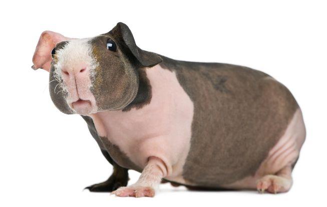hairless-guinea-pig-4.jpg.653x0_q80_crop-smart