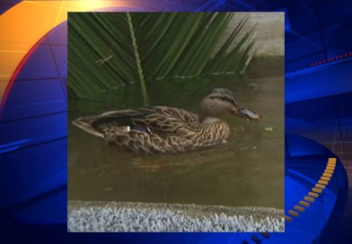 Seniors demand return of their pet wild duck -PetsOnBoard.com