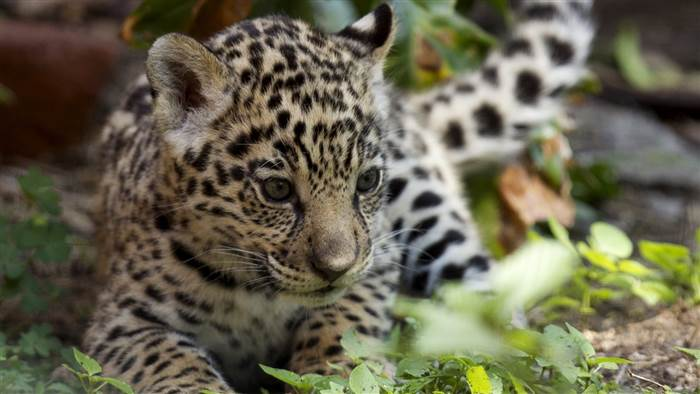 A preoccupied jaguar cub and more in this week's best animal photos – PetsOnBoard.com
