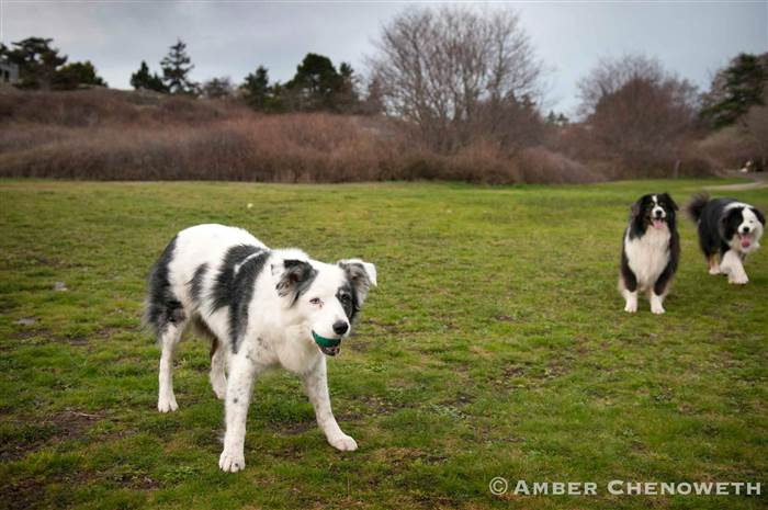 Kathleen Zuidema's dogs play fetch outside