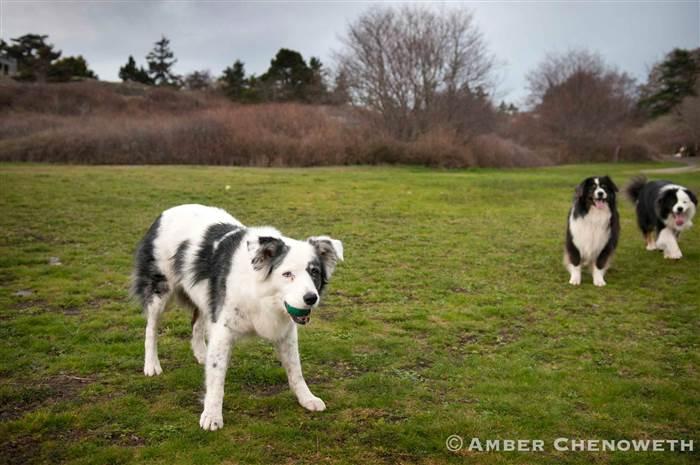 Kathleen Zuidema's dogs play fetch outside