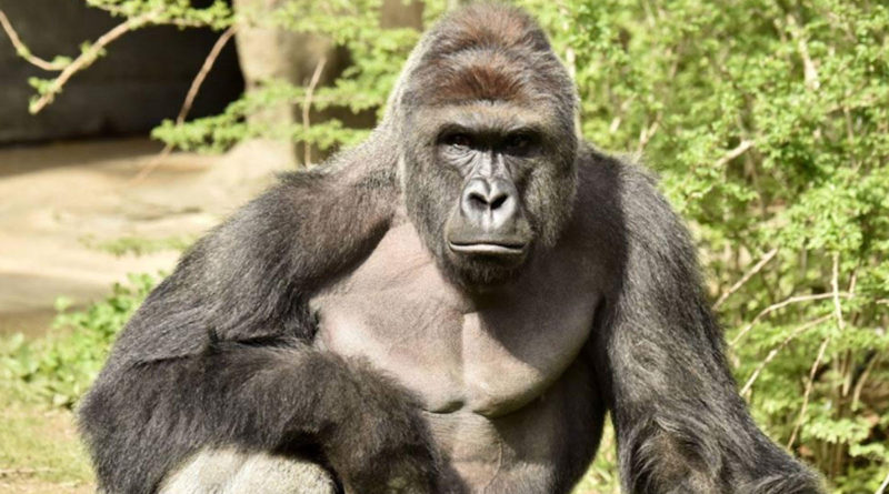 Cincinnati-Gorilla-