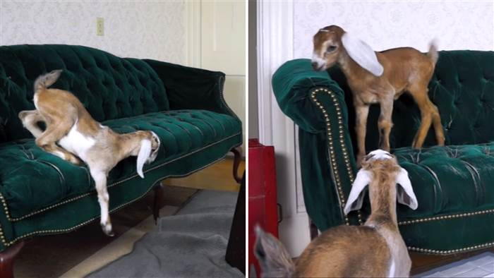 Watch these baby goats try to jump on a couch… over and over and over – PetsOnBoard.com