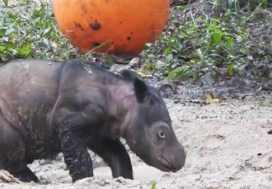 Mud bath! Watch this adorable little rhino calf play in the mud – PetsOnBoard.com