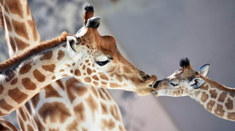 at-giraffes-today-160904-tease_b5140b5a6d71d950d66e24ab964660e4.today-ss-slide-desktop
