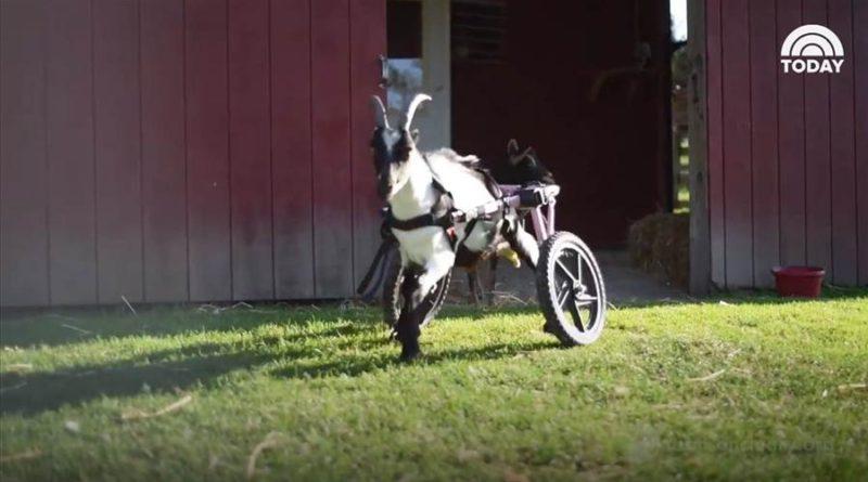 Benedict the goat rolls around in custom wheelchair – PetsOnBoard.com