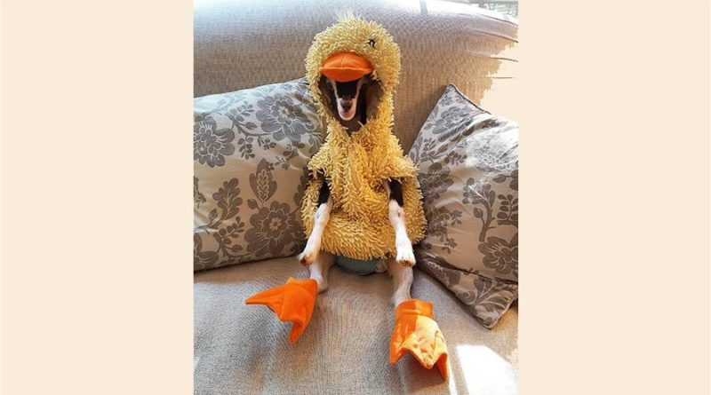 Goat with anxiety only calms down when in duck costume – PetsOnBoard.com