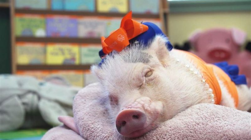 Priscilla and Poppleton: mini pigs, classroom pets – PetsOnBoard.com