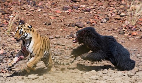 Bear v tiger! Astonishing battle between two ferocious animals is caught on film -PetsOnBoard.com