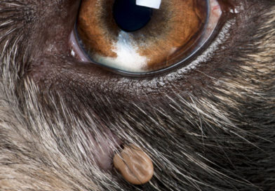 Lyme Disease in Dogs: Causes, Symptoms and Treatment- PetsOnBoard.com
