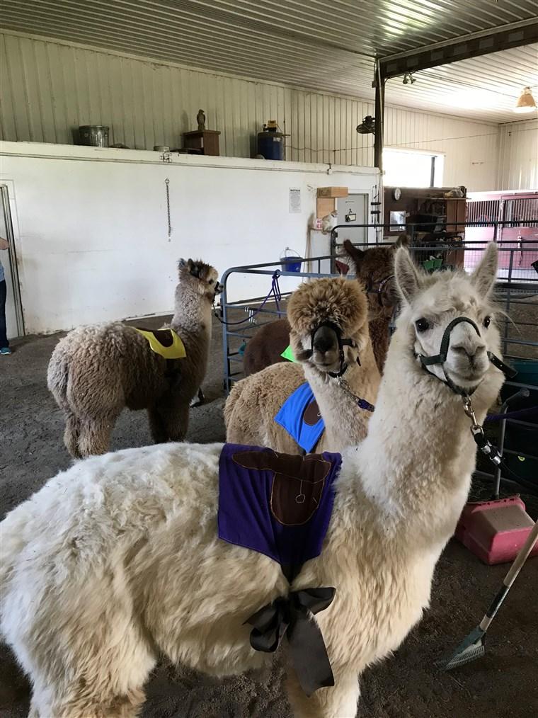 Alpaca Kentucky Derby