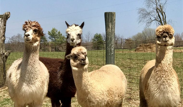 Watch the first-ever Alpaca 'Kentucky Derby' in all its fluffy glory- PetsOnBoard.com