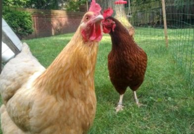 Curious about raising chickens? PetsOnBoard.com