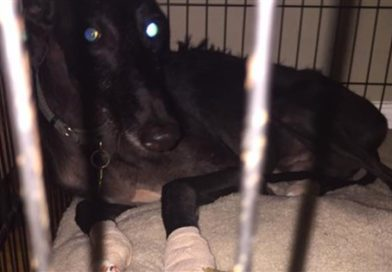 Dog panicked by fireworks flees from backyard, ends up in ICU- PetsOnBoard.com