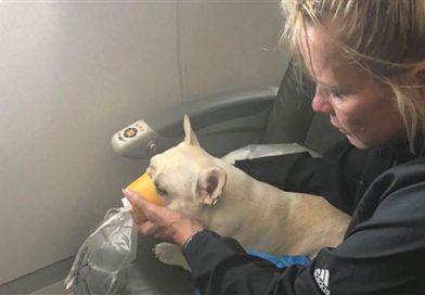JetBlue crew saves French bulldog struggling to breathe on flight- PetsOnBoard.com