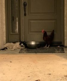 Cat and chicken found 'huddled together' after deadly California fire PetsOnBoard.com